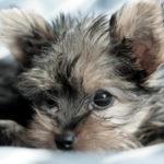 Miniature yorkshire terrier temperament