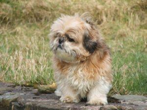 My shih tzu puppy has fleas