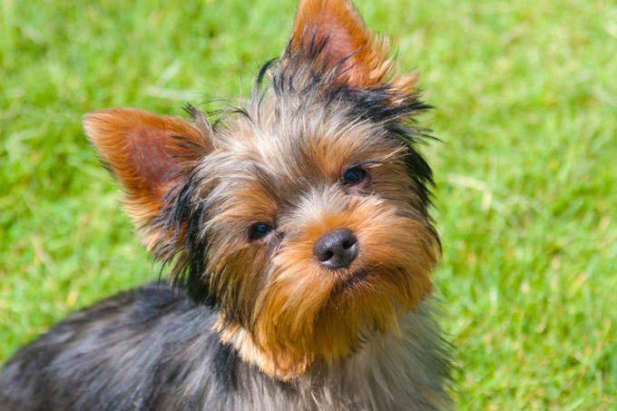 Names for a yorkshire terrier