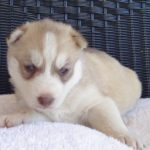 Pictures of 3 week old Husky puppies