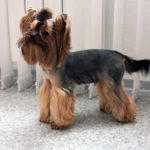 Pictures of yorkshire terrier haircuts