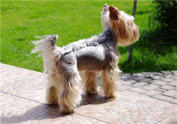Pictures of yorkshire terrier hairstyles