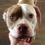 Pitbull terrier american bulldog