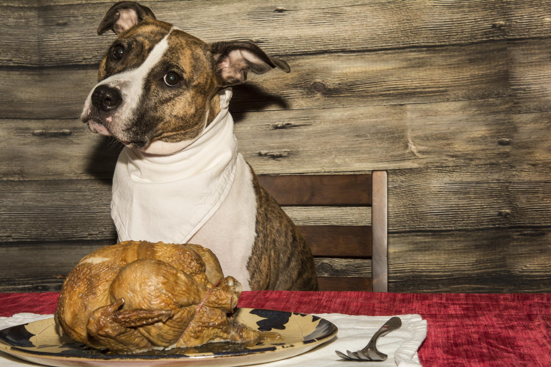 Pitbull terrier dog food