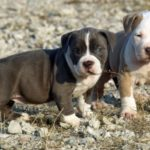 Pitbull terrier puppies care