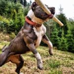 Pitbull terrier training