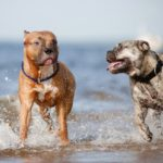 Pitbull vs staffordshire terrier