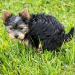 Potty training Yorkshire Terrier dog