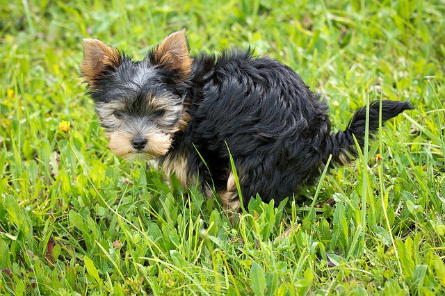 Potty Training Yorkshire Terrier Dog 1001doggycom