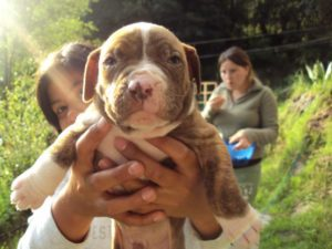 Red nose american pitbull terrier