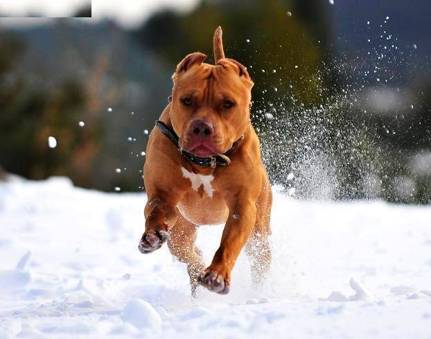 Red nose pitbull terrier