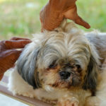 Shih tzu allergic to flea bites