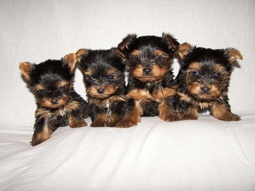 Short haired yorkshire terrier puppies for sale