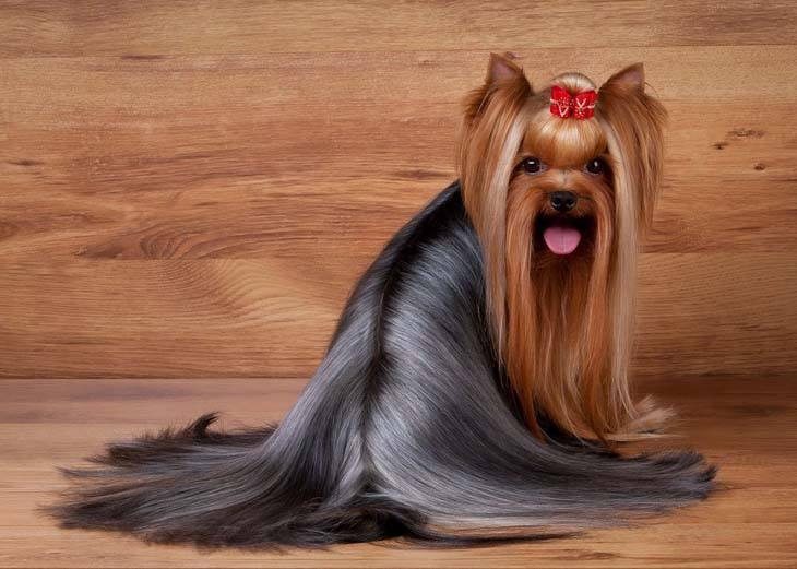 Silky haired yorkshire terrier