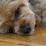 Skin disorders in yorkshire terriers
