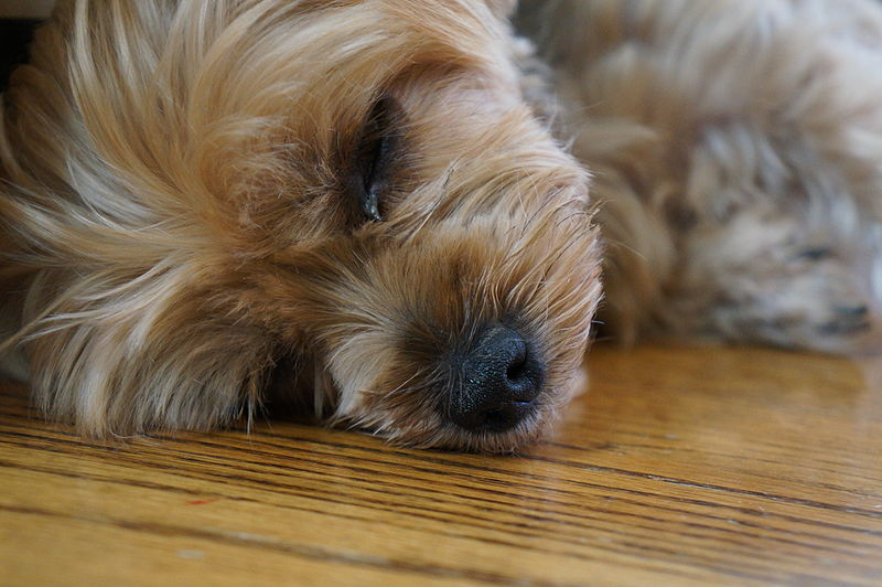 Skin disorders in yorkshire terriers