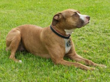 Staffordshire pitbull terrier