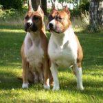 Staffordshire terrier vs pitbull