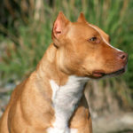 Taking care of a pitbull terrier
