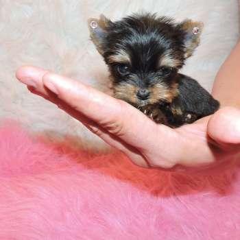 Teacup yorkshire terrier information