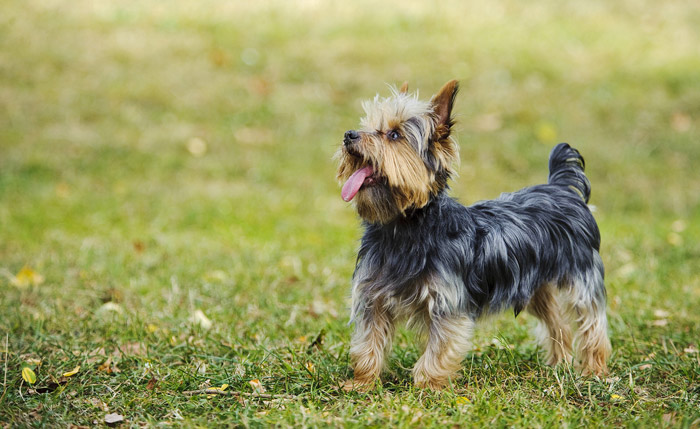 Temperament of a yorkshire terrier