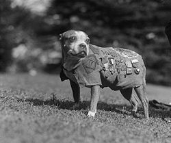 The history of the pitbull terrier