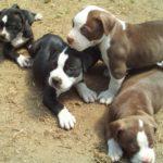 Training american pitbull terrier puppies