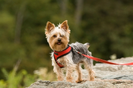 Training for yorkshire terriers