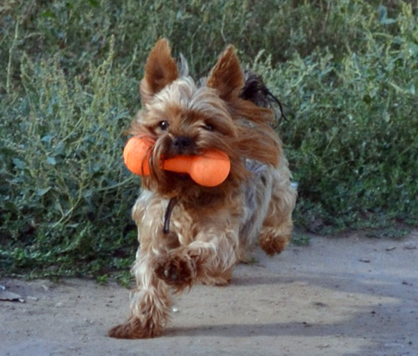 Training your yorkshire terrier