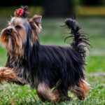What is the temperament of a yorkshire terrier