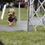 Yorkshire terrier agility training