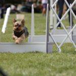 Yorkshire terrier agility training