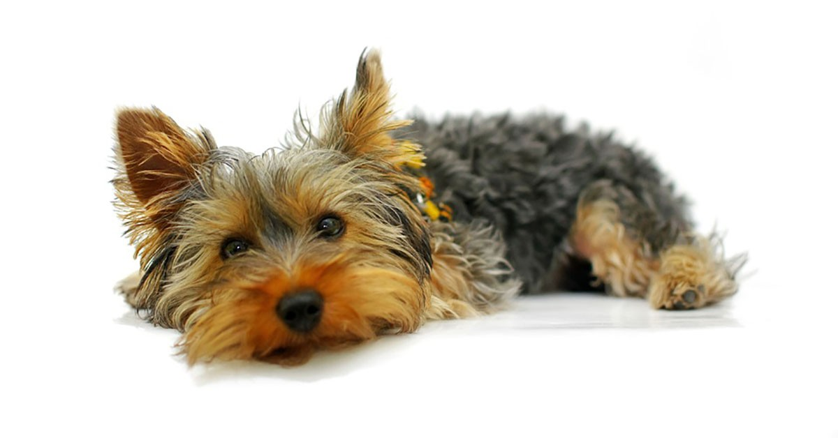 Yorkshire terrier allergy sufferers
