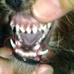 Yorkshire terrier canine teeth