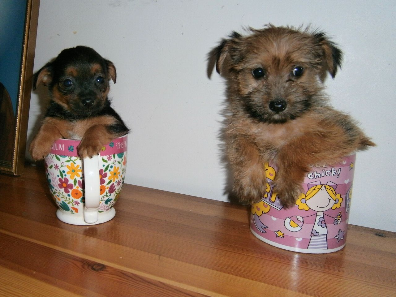 Yorkshire terrier chihuahua mix puppies for sale