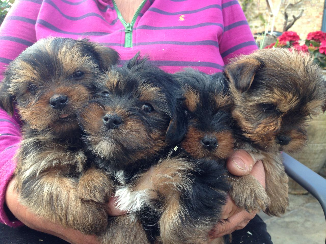 Yorkshire terrier cross poodle puppies for sale