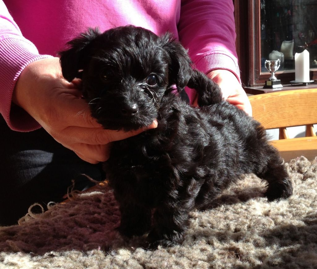 Yorkshire terrier cross toy poodle