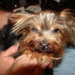 Yorkshire terrier eye problems