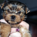 Yorkshire terrier eyes