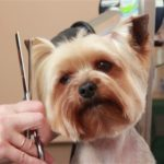 Yorkshire terrier grooming cuts