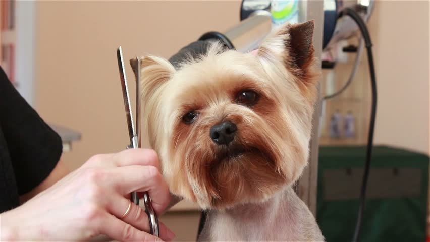 Yorkshire Terrier Grooming Cuts 1001doggy Com