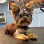 Yorkshire terrier haircuts short