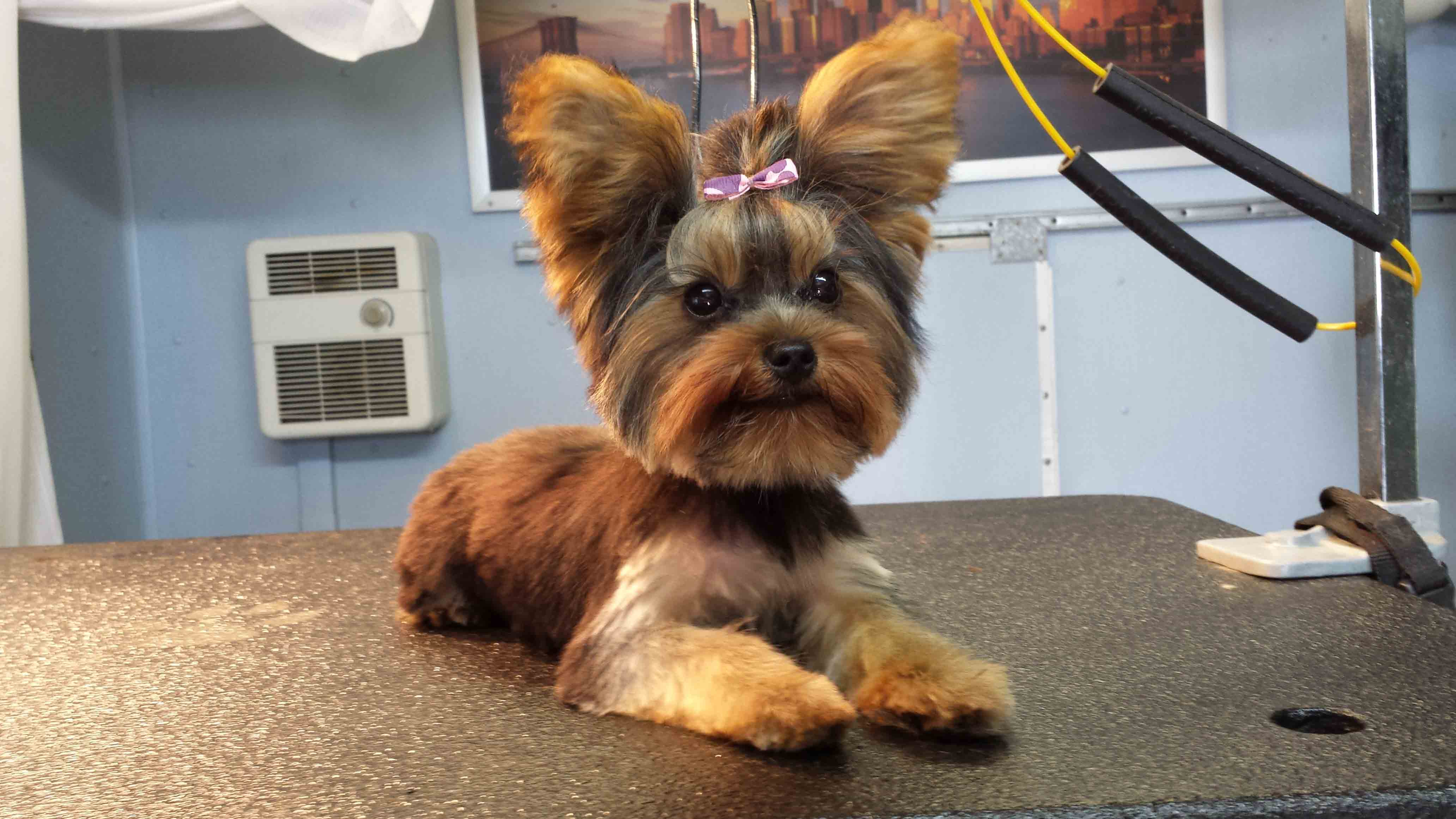 Yorkshire Terrier Haircuts Short 1001doggy