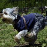 Yorkshire terrier information and facts