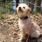Yorkshire terrier miniature poodle mix