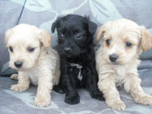 Yorkshire terrier poodle cross for sale