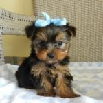 Yorkshire terrier poodle mix for sale