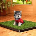 Yorkshire Terrier potty training information