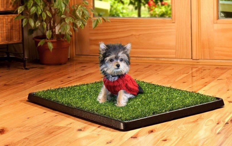 Yorkshire Terrier potty training information