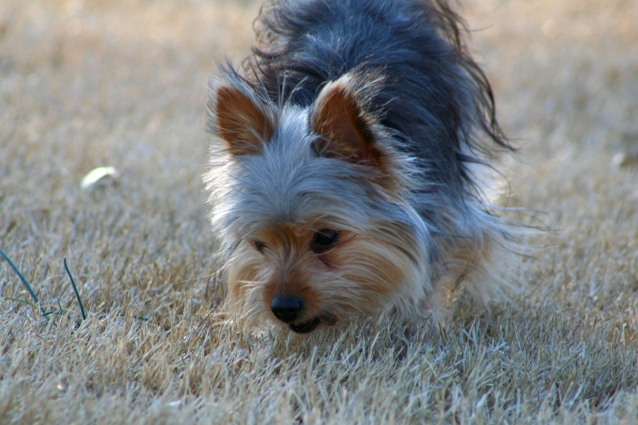 Yorkshire Terrier potty training issues